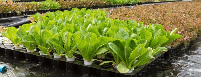 Potapanje presadnice salate u gnojivo Trafos K