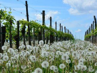 Ekološki vinograd u proljeće