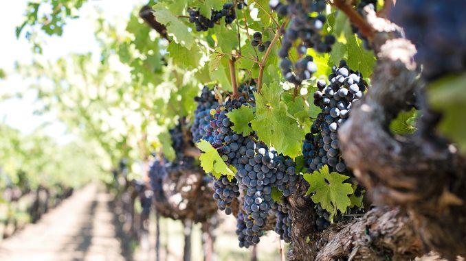 Ekološko vinogradarstvo