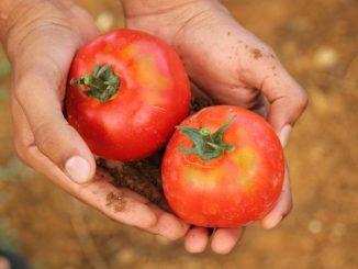 Plodovi rajčice iz organskog uzgoja