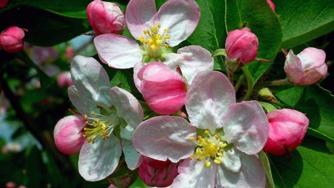 Cvatnja voćaka biostimulatori