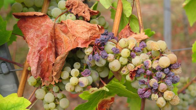 Suša vinove loze