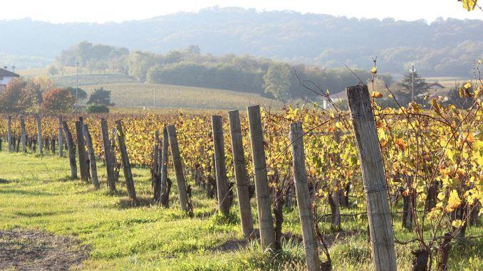 Gnojidba vinograda u jesen