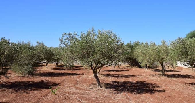 gnojidba maslina u jesen