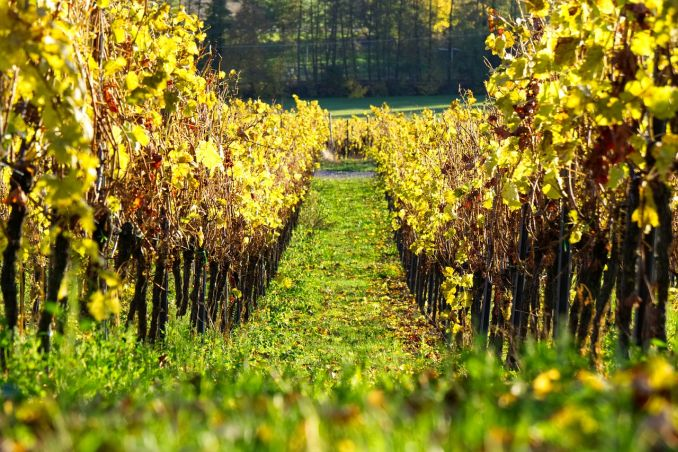 jesenska gnojidba vinograda